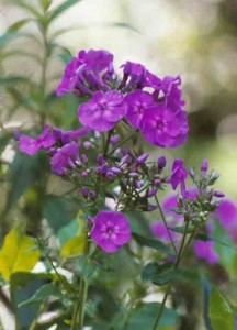 purpleflowerssmallforweb